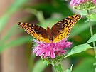 Silvery Checkerspot Butterfly by Susan S. Kline