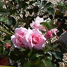 lovely pink baby roses by sundial by BronReid