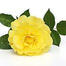 yellow rose by OldaSimek