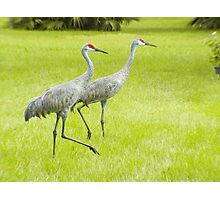 Sand Hill Cranes Photographic Print