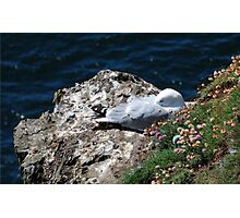 Herring Gull Sleeping Photographic Print