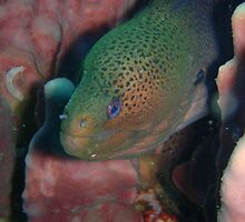 Gian Moray Eel close up by Richard Shakenovsky