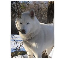 Snow on Snow Husky Dog Morning Poster