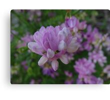 Crown Vetch Canvas Print