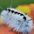 Hickory Tussock Caterpillar by Sheri Nye
