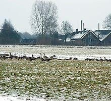 Winter farmland with geese by steppeland