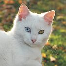 Cat with blue and yellow eyes by branko stanic