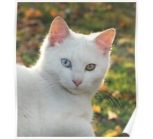 Cat with blue and yellow eyes Poster