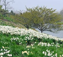 Field of White Daffodils by Kathleen Brant