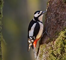 Great Spotted Woodpecker by wildlifephoto