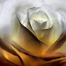 ambient rose .... (series) by SNAPPYDAVE