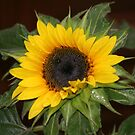 My Sunflower by CMCetra