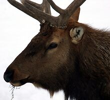 Bull Elk  Profile ~ Close Up by Jan  Tribe