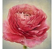 Dusty pink Photographic Print