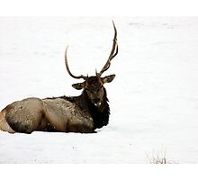 Elk  Photographic Print