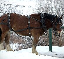 Draft Horse by Jan  Tribe