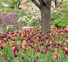 Tulips in Lilac Park by Kathleen Brant