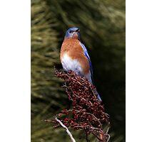 Eastern Bluebird - Morton Arboretum, Lisle, Illinois Photographic Print