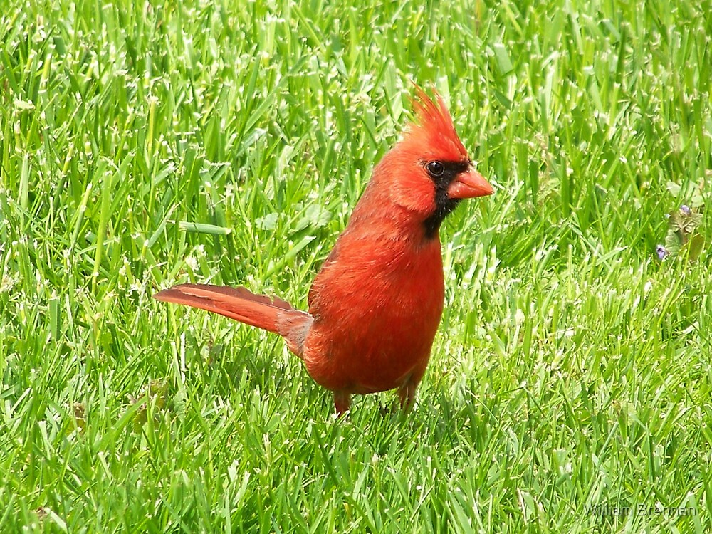 A male Northern Cardinal looking for seeds. by William Brennan