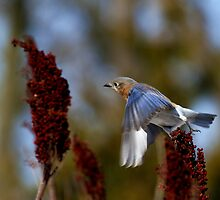 What's The Rush - Eastern Blue Bird by John Absher