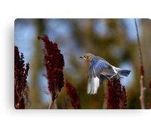 What's The Rush - Eastern Blue Bird Canvas Print