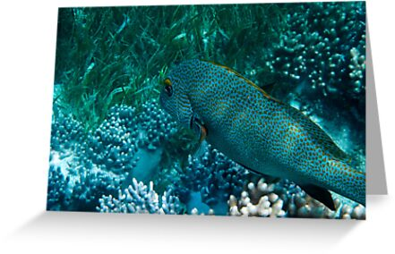Spotted Coral Eating Wrass - Great Barrier Reef, Queensland by Karen Stackpole