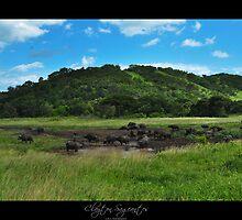 Buffalo herd by Clayton Sageantes