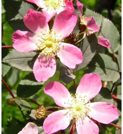 More wild roses - all products Sticker