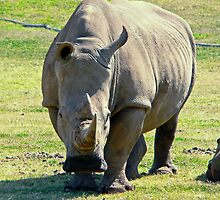Rhino at Werribee Zoo Australia by Tom Newman