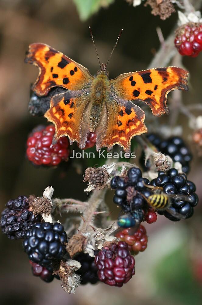 Comma on Blackberries by John Keates