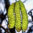 Catkins by shiraz
