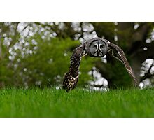 Great Grey Owl flying Photographic Print