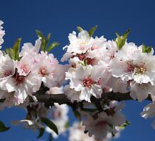 Blossoming almonds by Trine