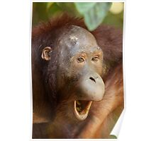 Juvenile orangutan Poster