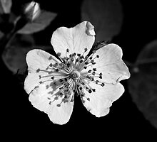 Wild Rose- Black Sunshine IV by David Lamb