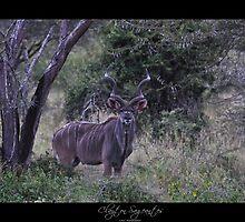 Kudu by Clayton Sageantes