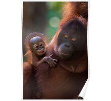 Female Orangutan and her baby Poster