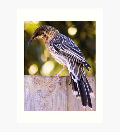 Wattle Bird  Art Print