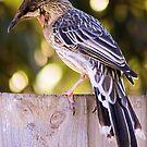 Wattle Bird  by Rhonda F.  Taylor