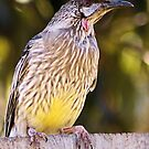 Wattle Bird 2 by Rhonda F.  Taylor