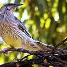 Wattle Bird in Tree by Rhonda F.  Taylor