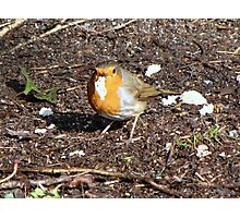 The robin gets it's reward Photographic Print