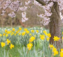 Cherry orchard and daffodils by David Tovey