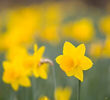 Daffodil yellow by David Tovey