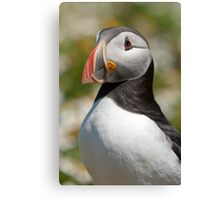 Proud puffin Canvas Print