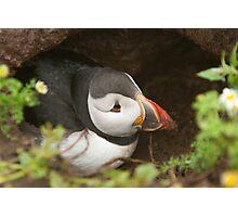 Atlantic puffin burrow Photographic Print