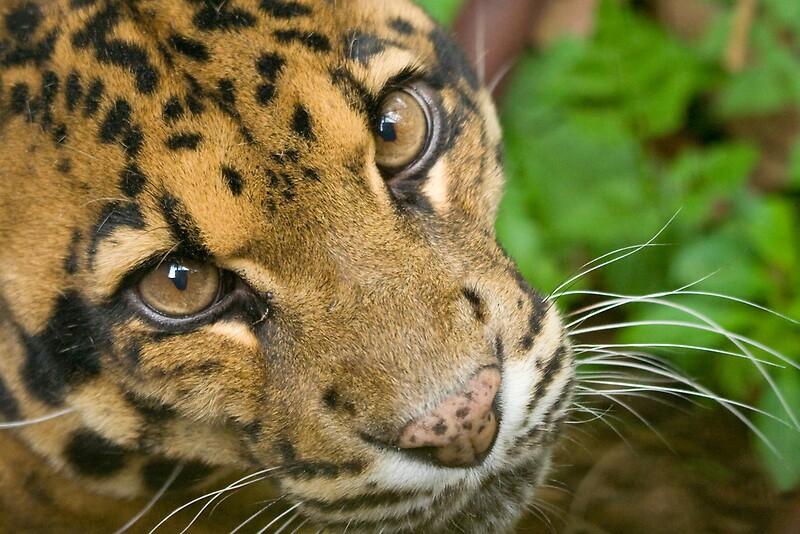 """Formosan Clouded Leopard"" by tara-leigh - 151.8KB"