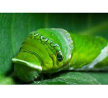 Great mormon caterpillar head Photographic Print