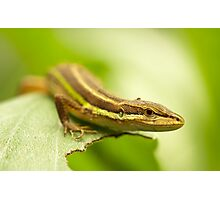 Chinese Green Striped Lizard Photographic Print