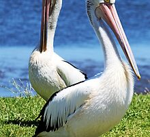 Two Pelicans by Evita